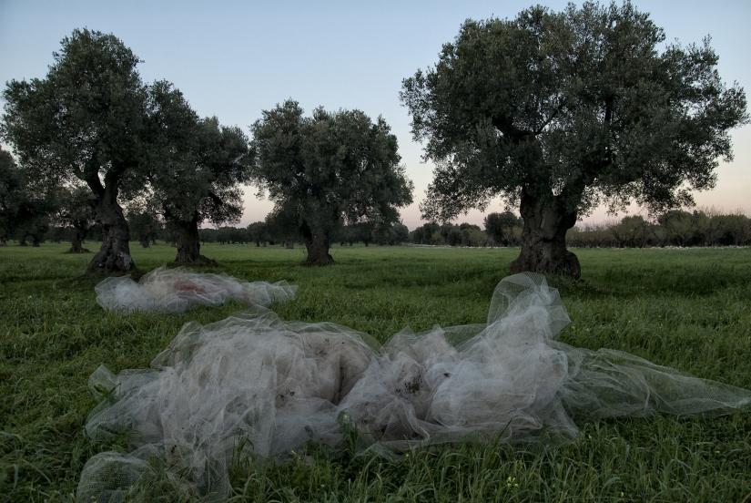 La terra, sposa degli ulivi