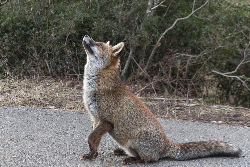 La volpe