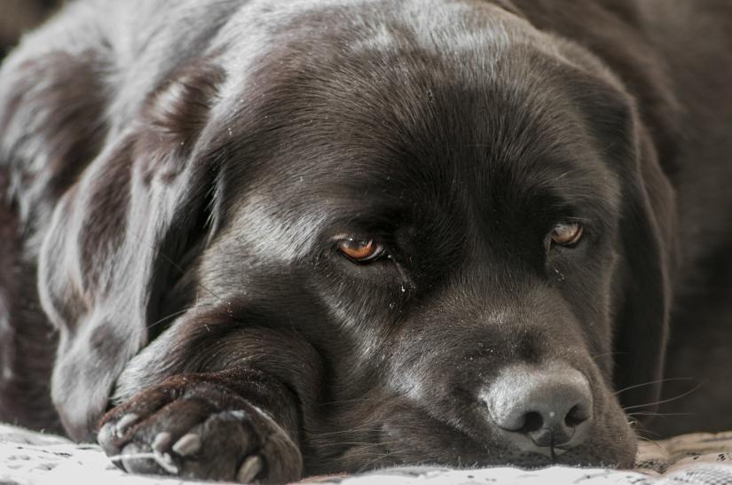 Labrador Kira