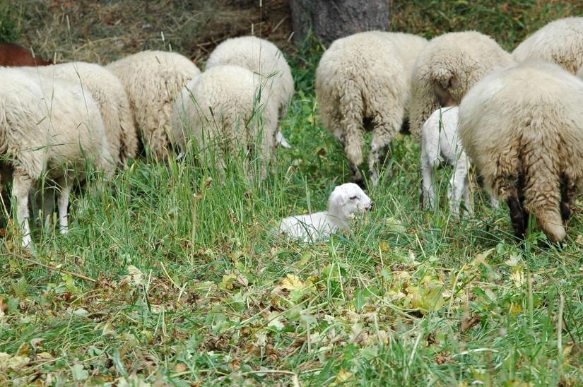 L'agnellino