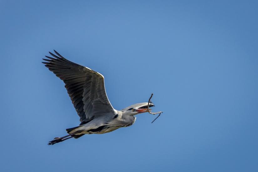 L'Airone cenerino fa il nido