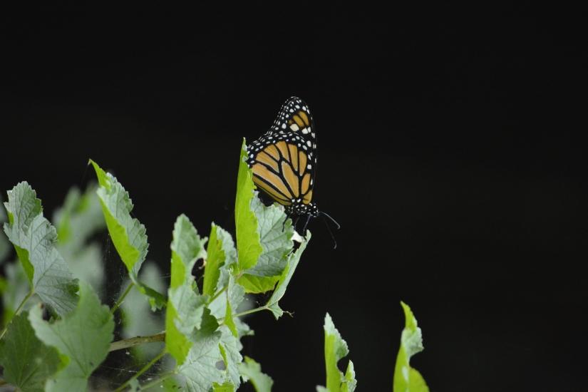 Leggera farfalla