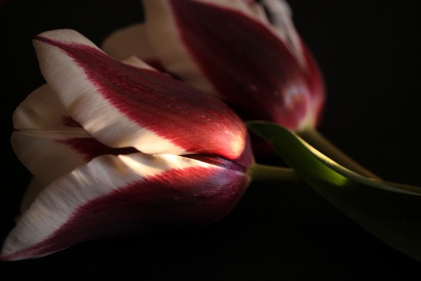 L'eleganza del tulipano
