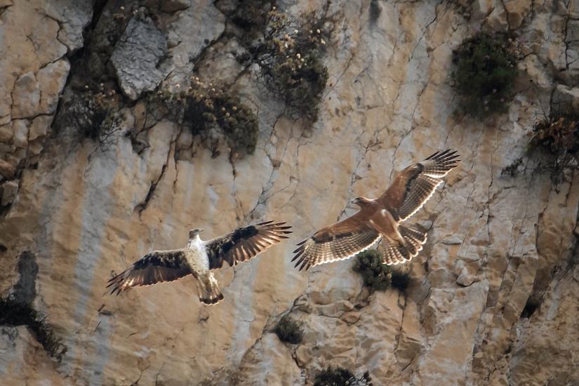 Lezioni di volo per il giovane di Aquila di Bonelli (Aquila fasciata)