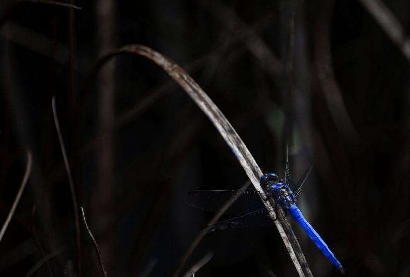 Libellula d'azzurro