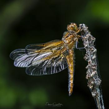 libellula fulva