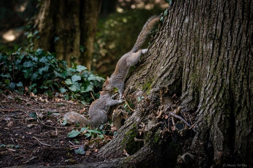Litigano anche gli scoiattoli