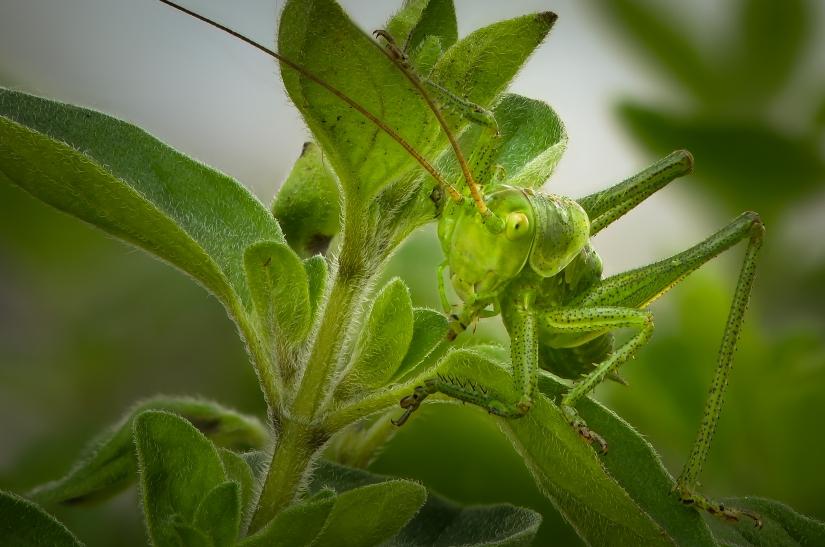 Locusta verde