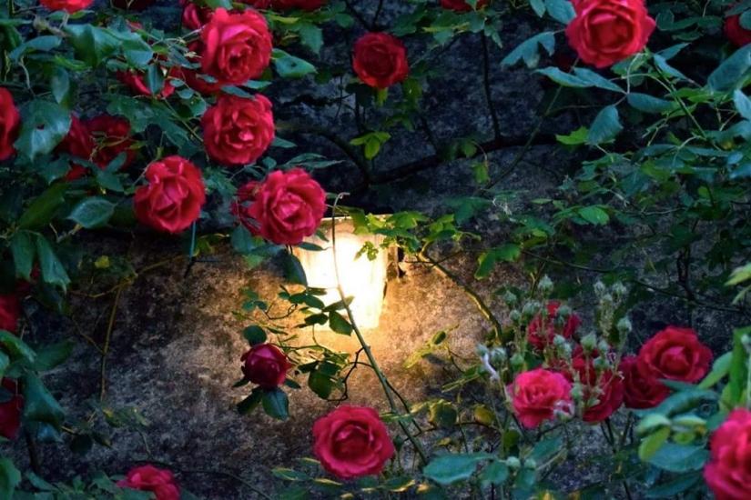 Luce di rose