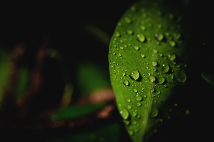 Macro di gocce d'acqua su foglia di bonsai
