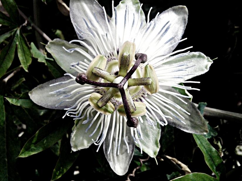Magic of Passiflora