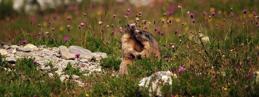 Marmotte innamorate