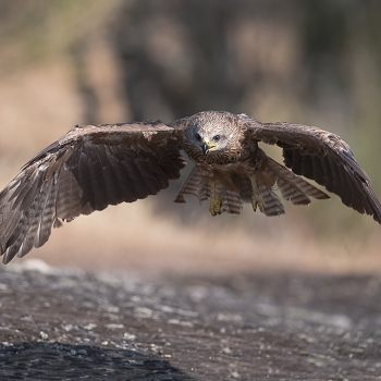 Nibbio bruno in volo