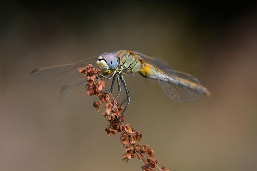 Piccola libellula