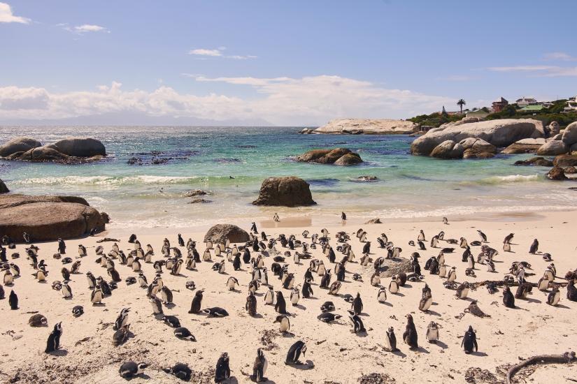 Pinguini Jack Ass nella baia di Boulders Beach a Simon's Town Sud Africa
