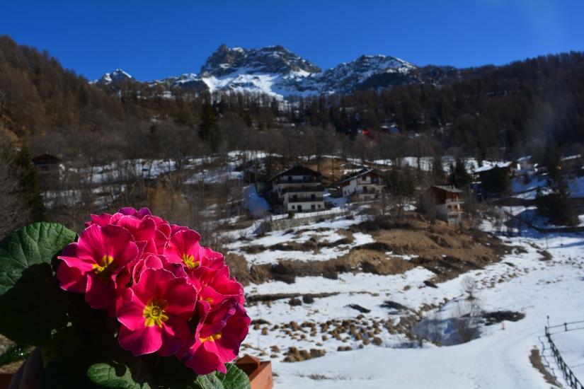 Primule rosa