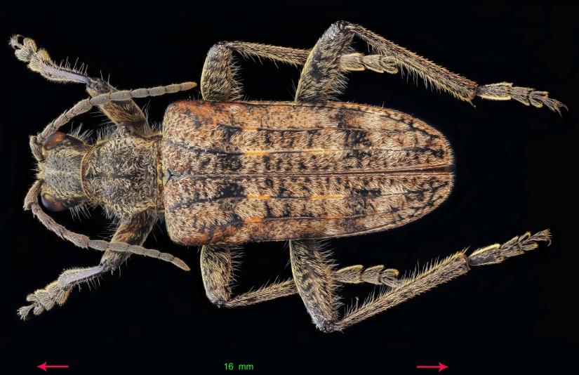 Rhagium mordax