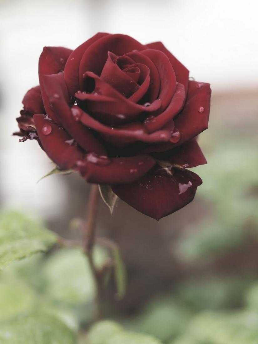 Rosa rossa con gocce di pioggia