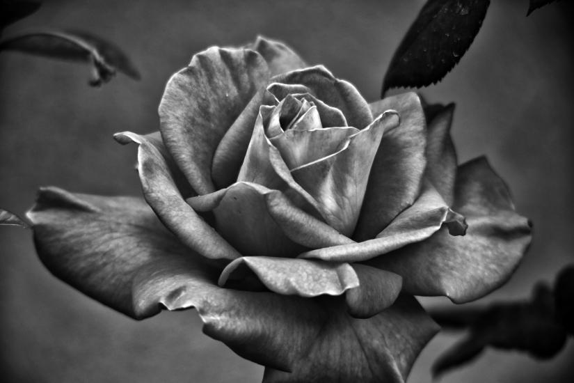 Rose ritratta