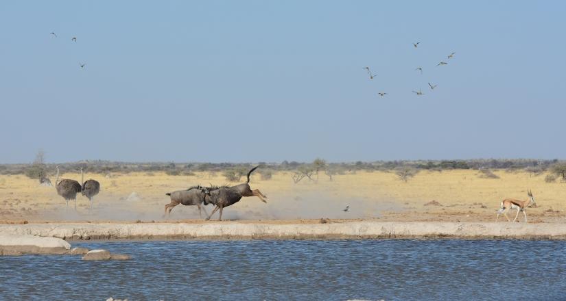 Scontro alla pozza - Nxai Pan - Botswana