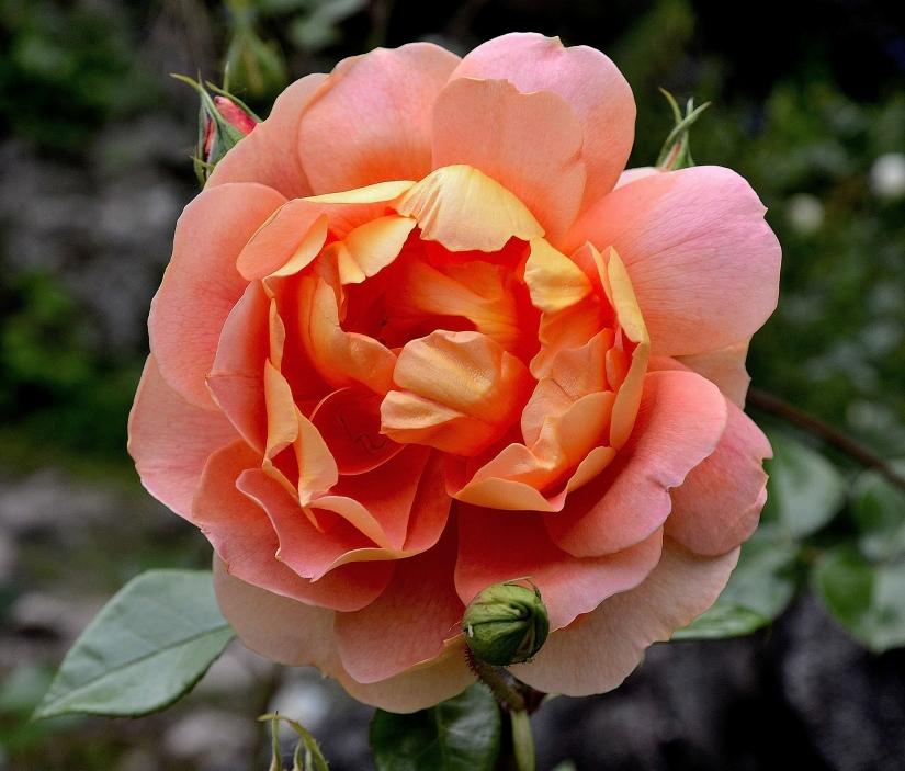 Splendida Rosa