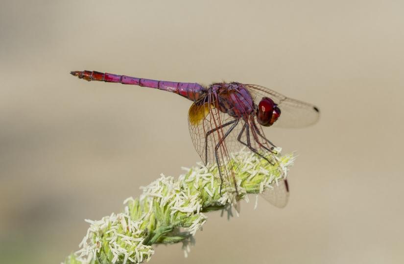 Sympetrum sanguineum (libellula rossa)