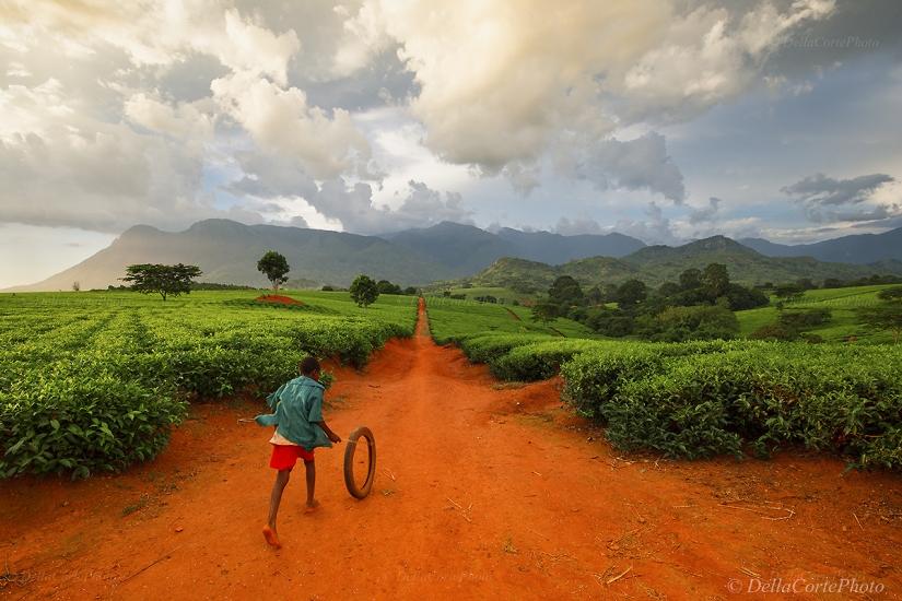 Tea farm of Malawi