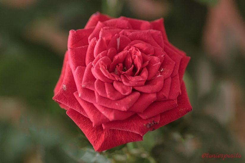The rose 2