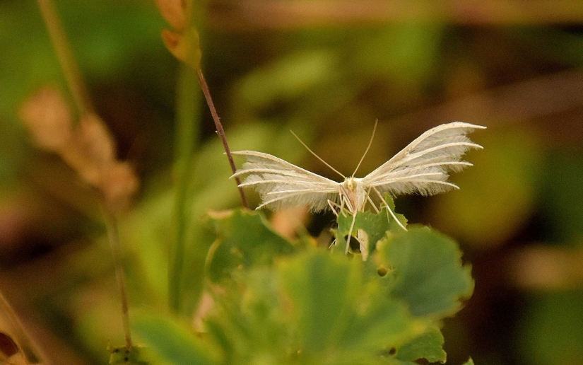 The white plume moths
