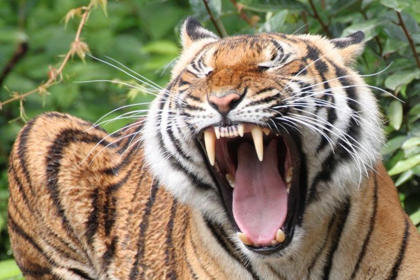 Tigre ruggente