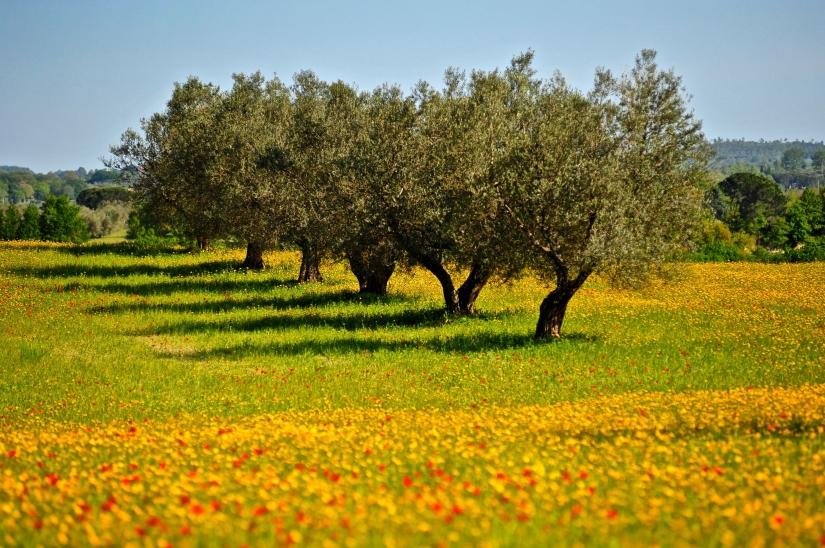 Ulivi tra i campi in fiore
