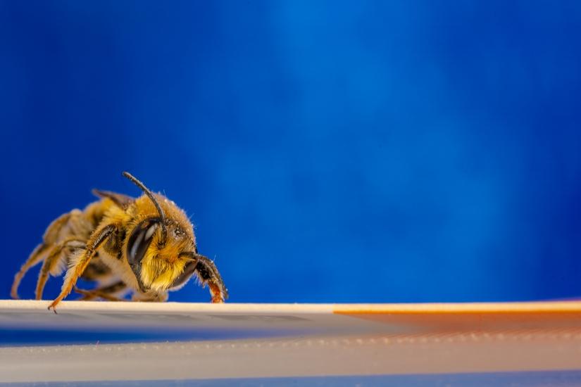 Un ape in posa