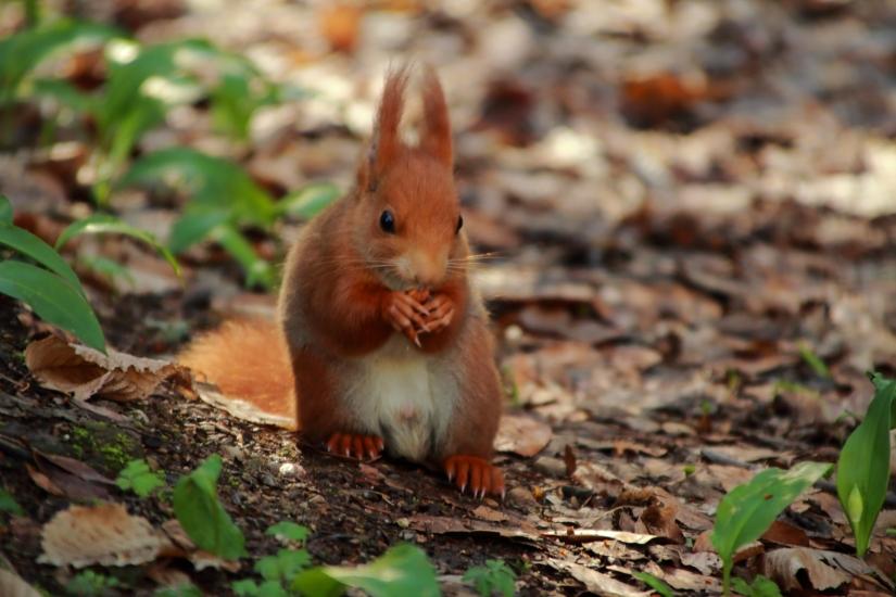 Uno scoiattolo maschio