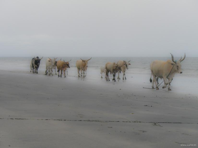 Walking cows